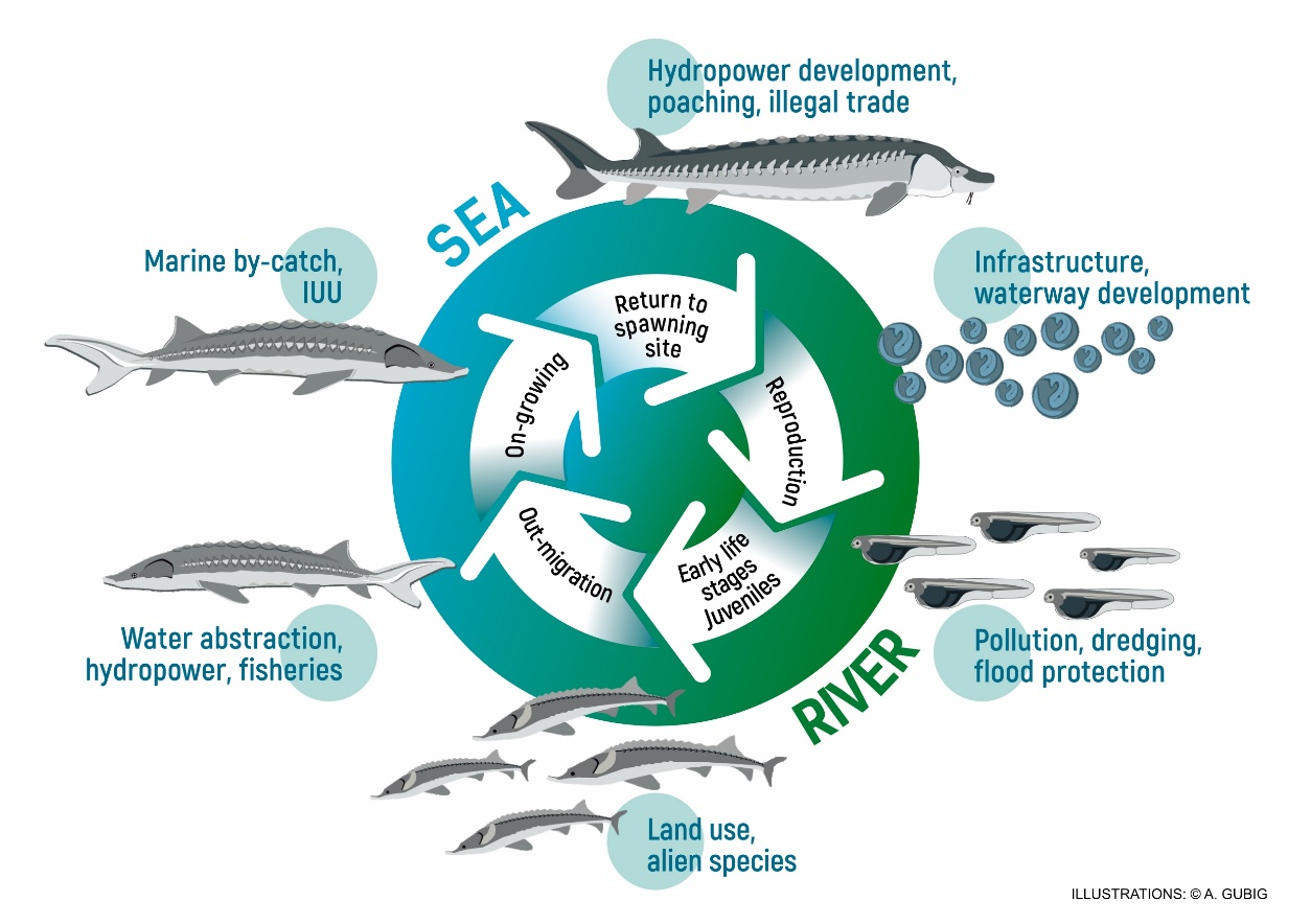 Figure x: Sturgeon life cycle. A typical life cycle of migrating sturgeons showing adverse impacts on the various life cycle phases. © WSCS & WWF