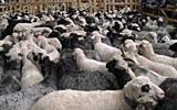 sheep_Tisza.jpg?itok=Lr9GFHgC