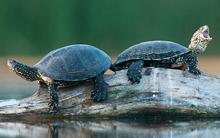 kudich-turtles.jpg?itok=-HZ6Ebdf