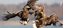 white-tailed-eagles.jpg?itok=AuB3gnz7