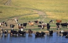 cows-coast.jpg?itok=Y-aOs4Xx